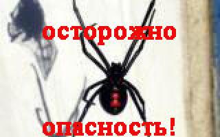 Как выглядит каракурт или паук черная вдова (фото)