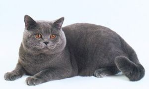 Британская вислоухая кошка фото