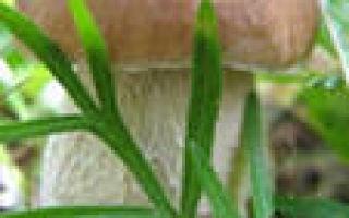 Как выглядит белый гриб, Белый гриб детальные фото и описание