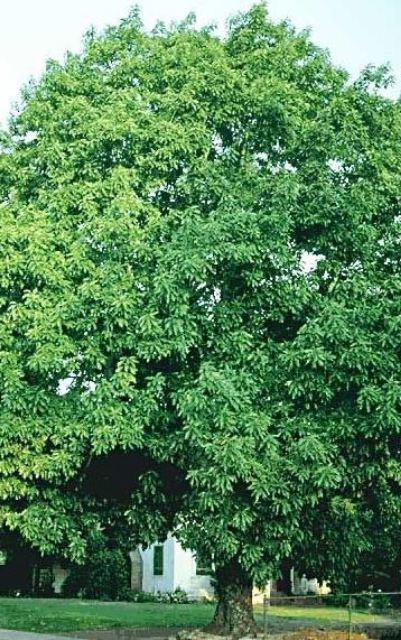 дерево авокадо фото