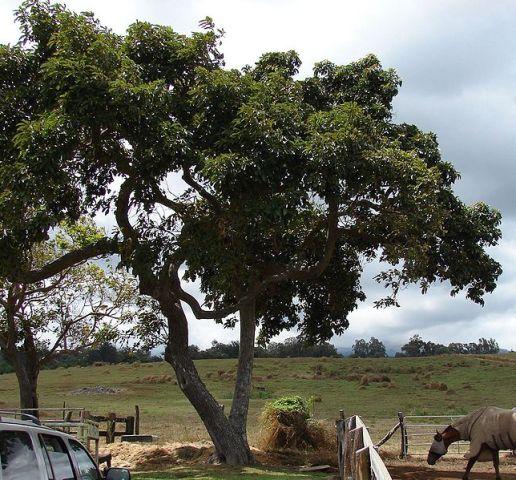 как выглядит дерево авоадо