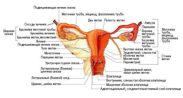 как выглядит матка