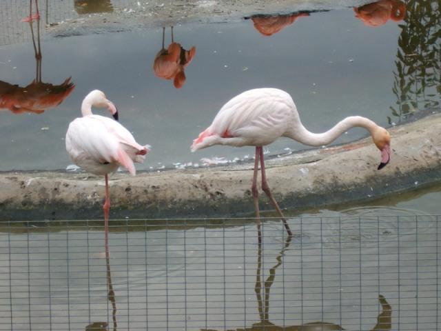 животное фламинго