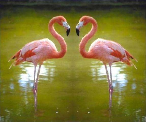 фото фламинго (пара)