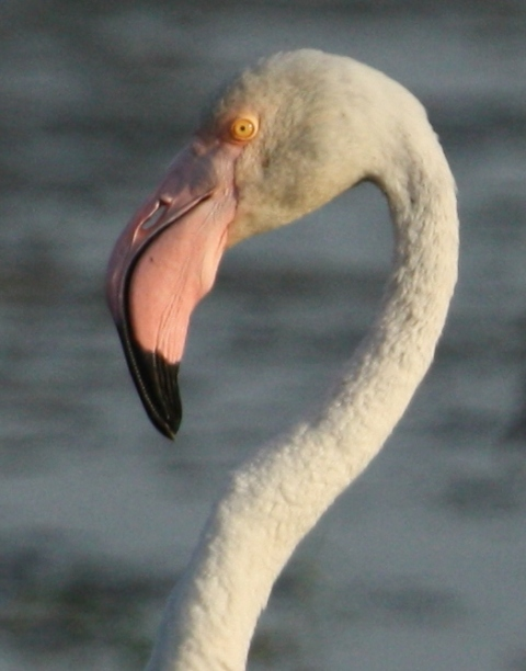 фламинго птица фото
