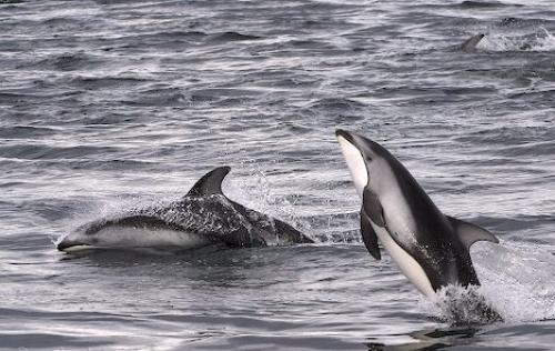 черные дельфины фото