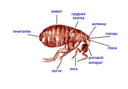Блохи имеют гладкое и узкое тело, которое немного приплюснуто по бокам.