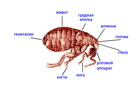 укусы блох фото (укусы блох у человека.
