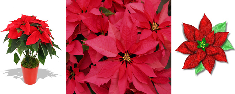 рождественская звезда цветок