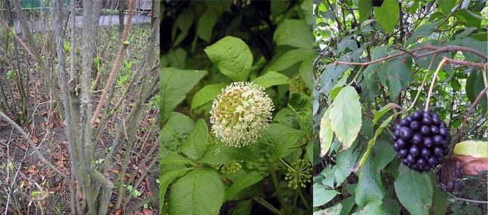 стебель, цветы, плоды элеутерококка фото