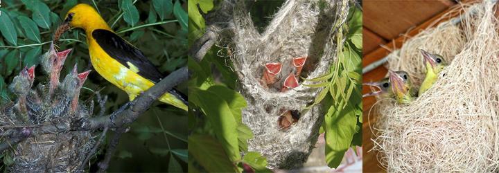 птенцы иволги в гнезде фото
