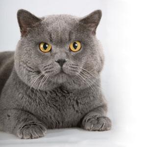 Британский кот фото