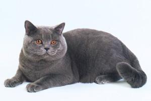британец кот фото