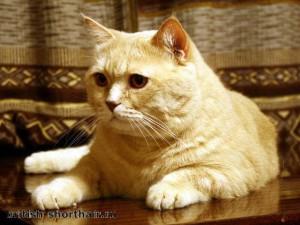 Британский кремовый кот  фото