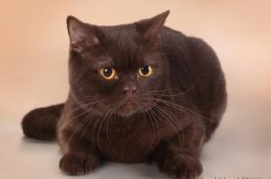 Британская шоколадная кошка фото