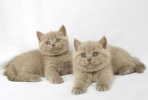 британские лиловые котята фото