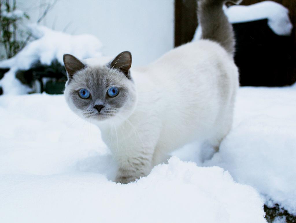 окрас британской кошки колорный