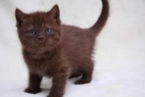 британский котенок фото