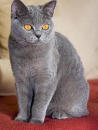дымчатая британская кошка.