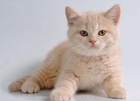 кремовый котенок британец фото
