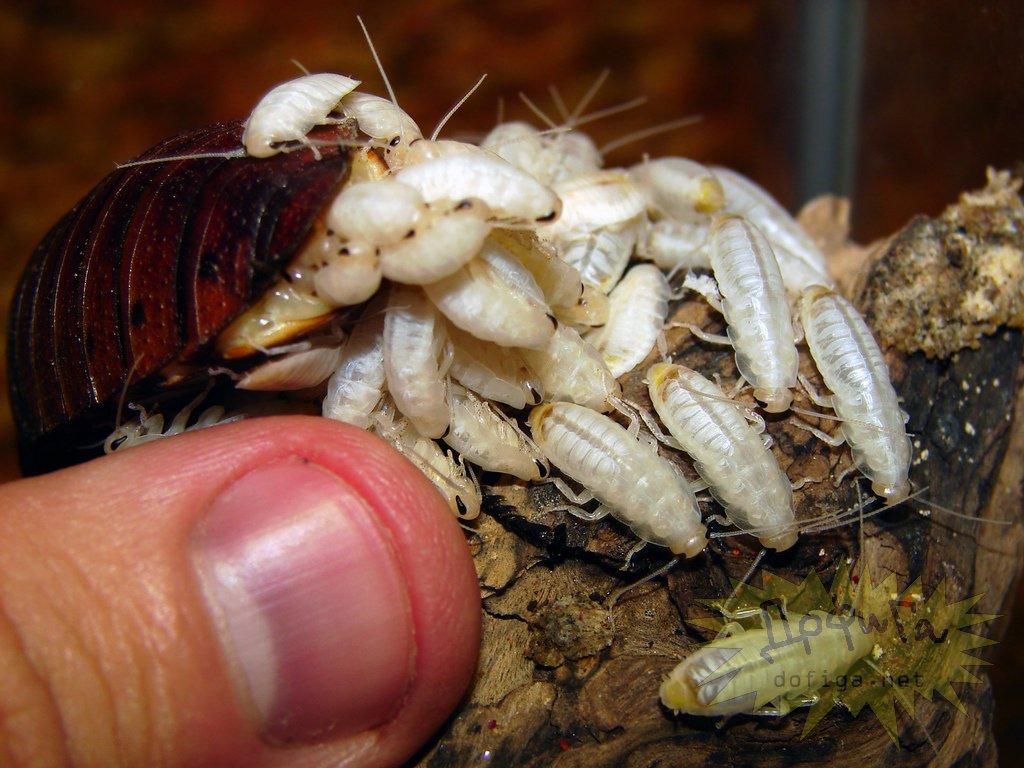 роды мадагаскарского таракана