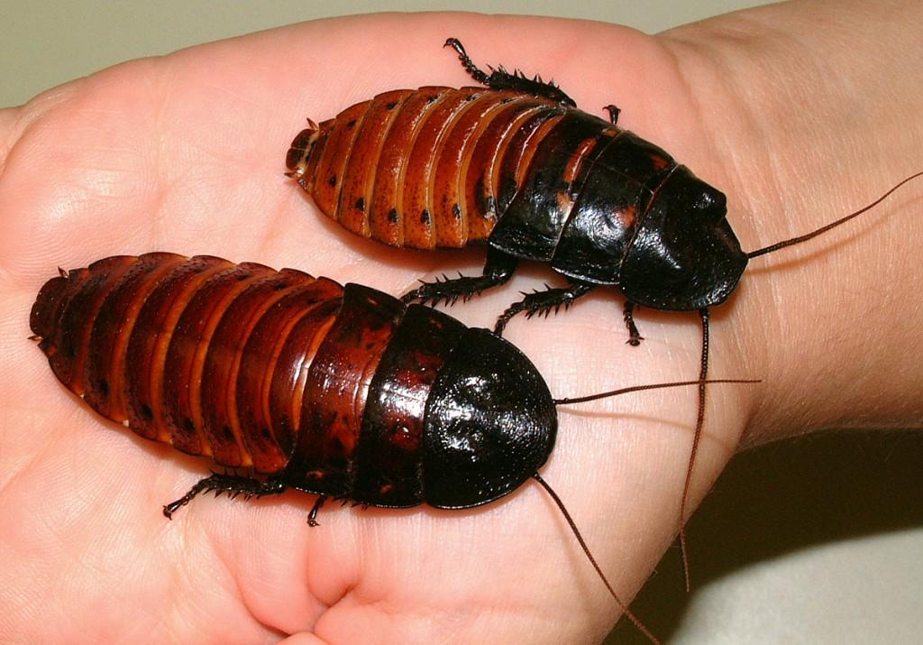 самка и самец мадагаскарского таракана фото