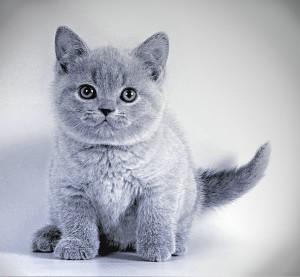 фото британских котят