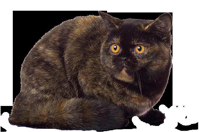 черепаховый окрас британской кошки фото