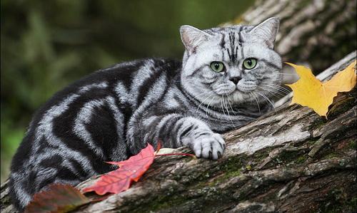 британский мраморный кот табби