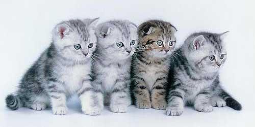 британские коты фото