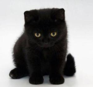 черный  британский котенок фото