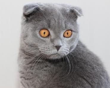 Кошка шотландской породы scottish fold фото